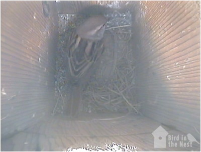 Female House Sparrow Inside Box 3